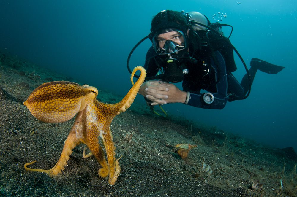 scuba diver with octopus
